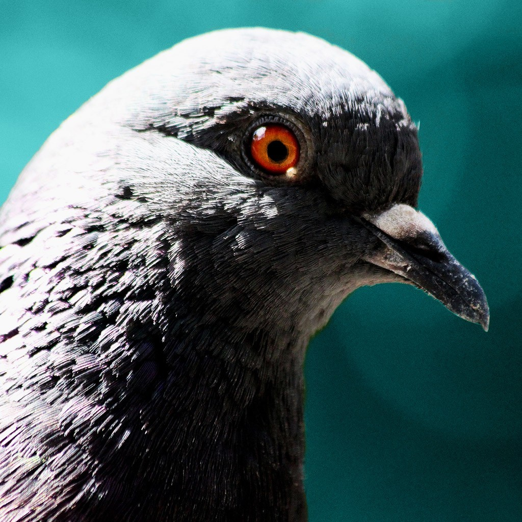 Head of a pigeon, for Combatants for peace web design